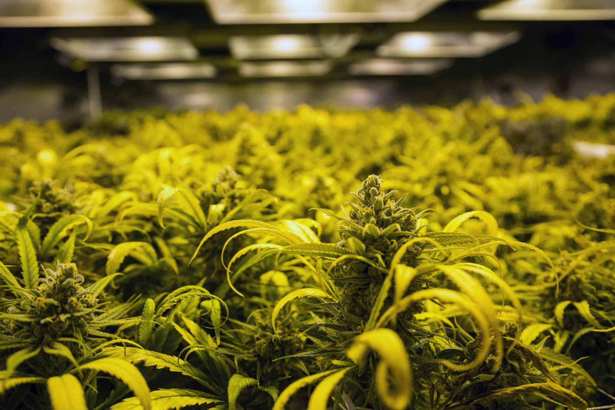 The Haven Recreational Marijuana Disensary Denver