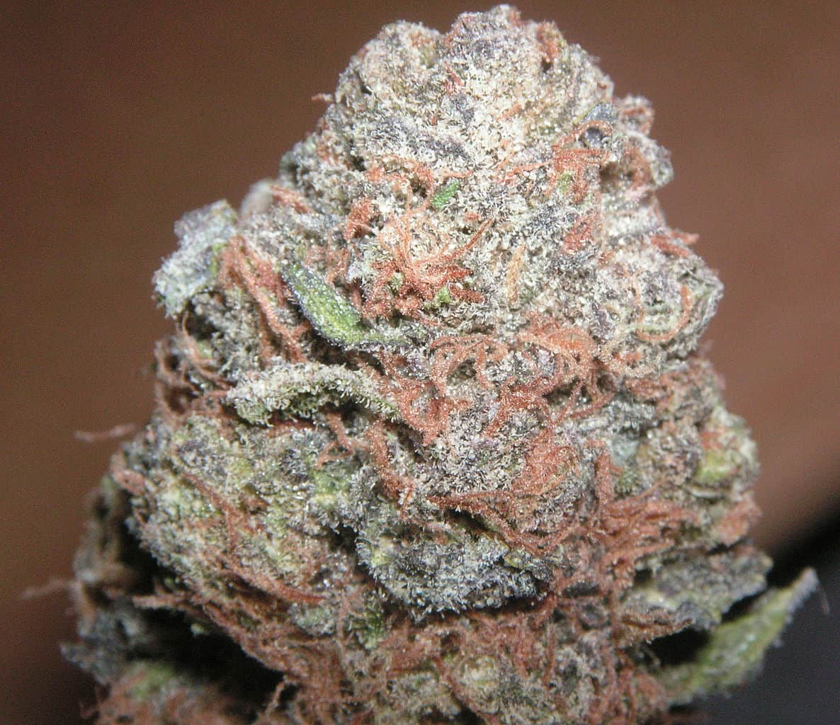 Purple Kush Bud Covered in Chrystals